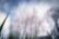 Cerisiers, suite par Nicolas Spuhler