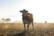 la vache par Nicolas Spuhler
