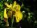 Iris barbu par John Grinling