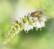 La mouche à menthe par Shlomith Bollag